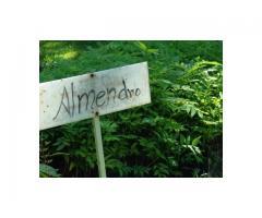 Almendro (Dipterix panamensis) de excelente calidad, semilla certificada y buen precio.