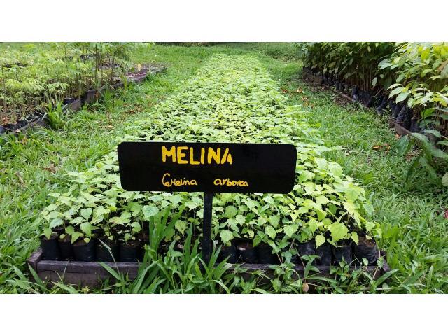 Venta de plantulas de Melina (Gmelina arborea)